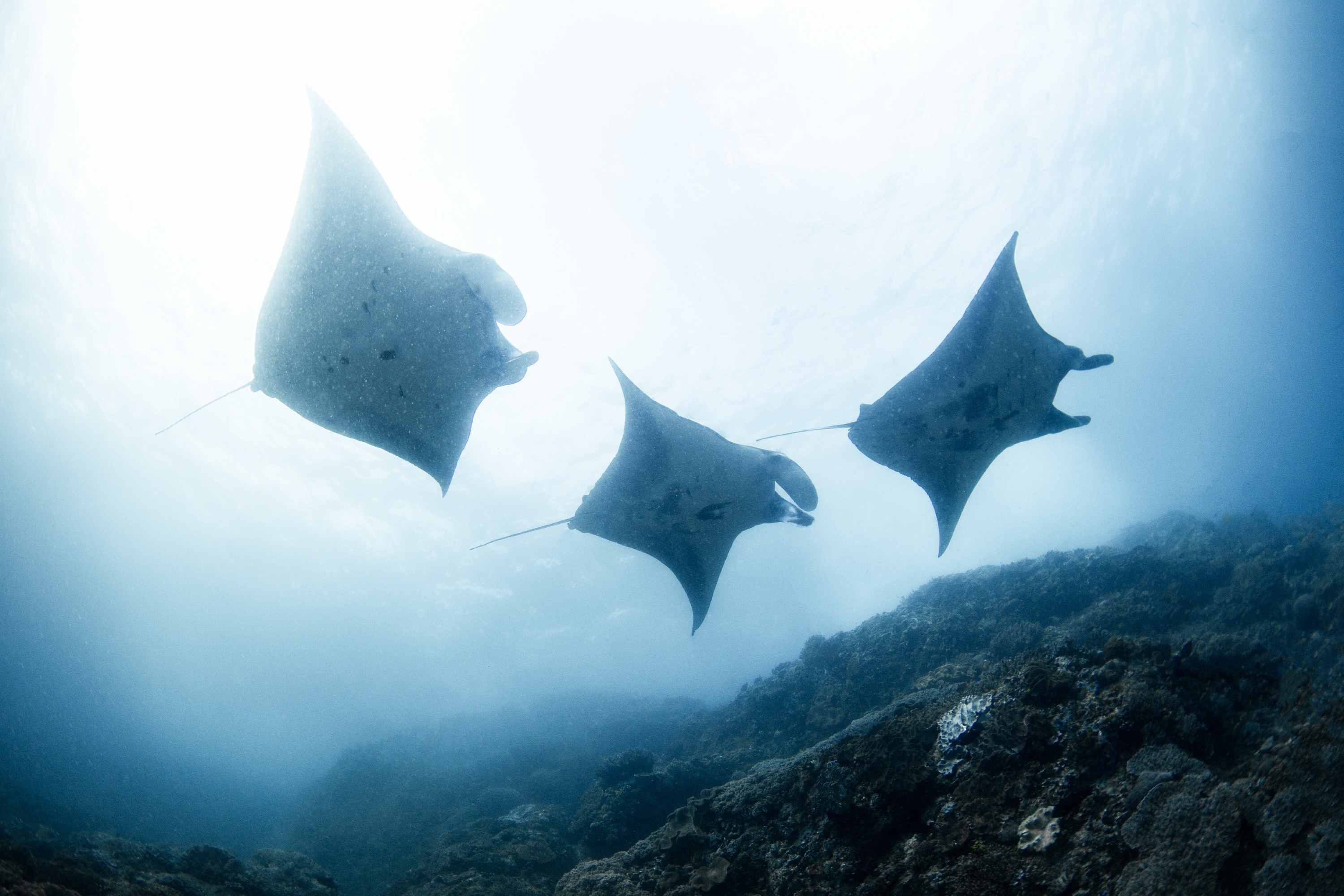 Three manta rays are silhouetted by the sunlight