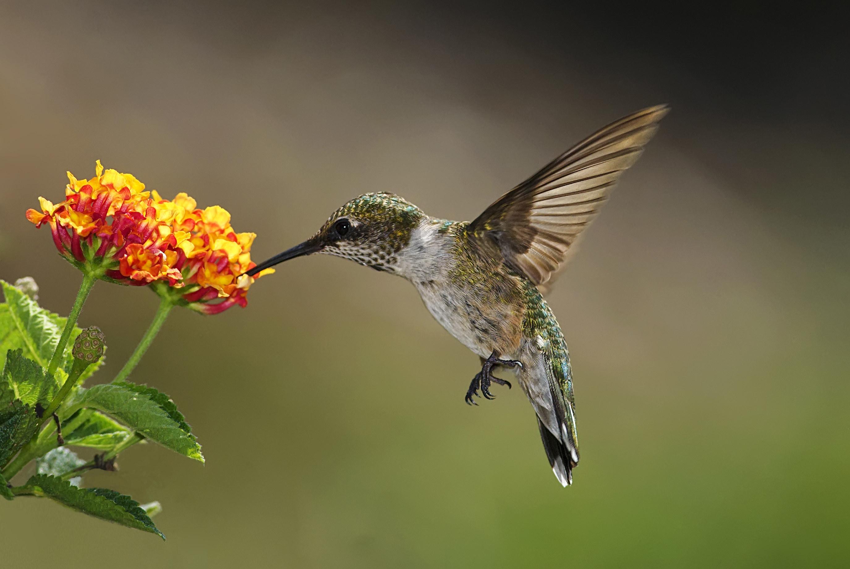 A hummingbird at a flower
