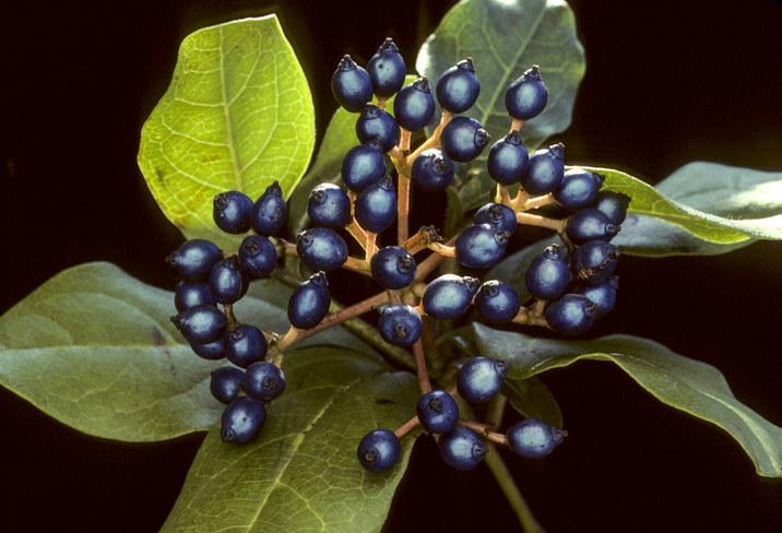 The blue fruit