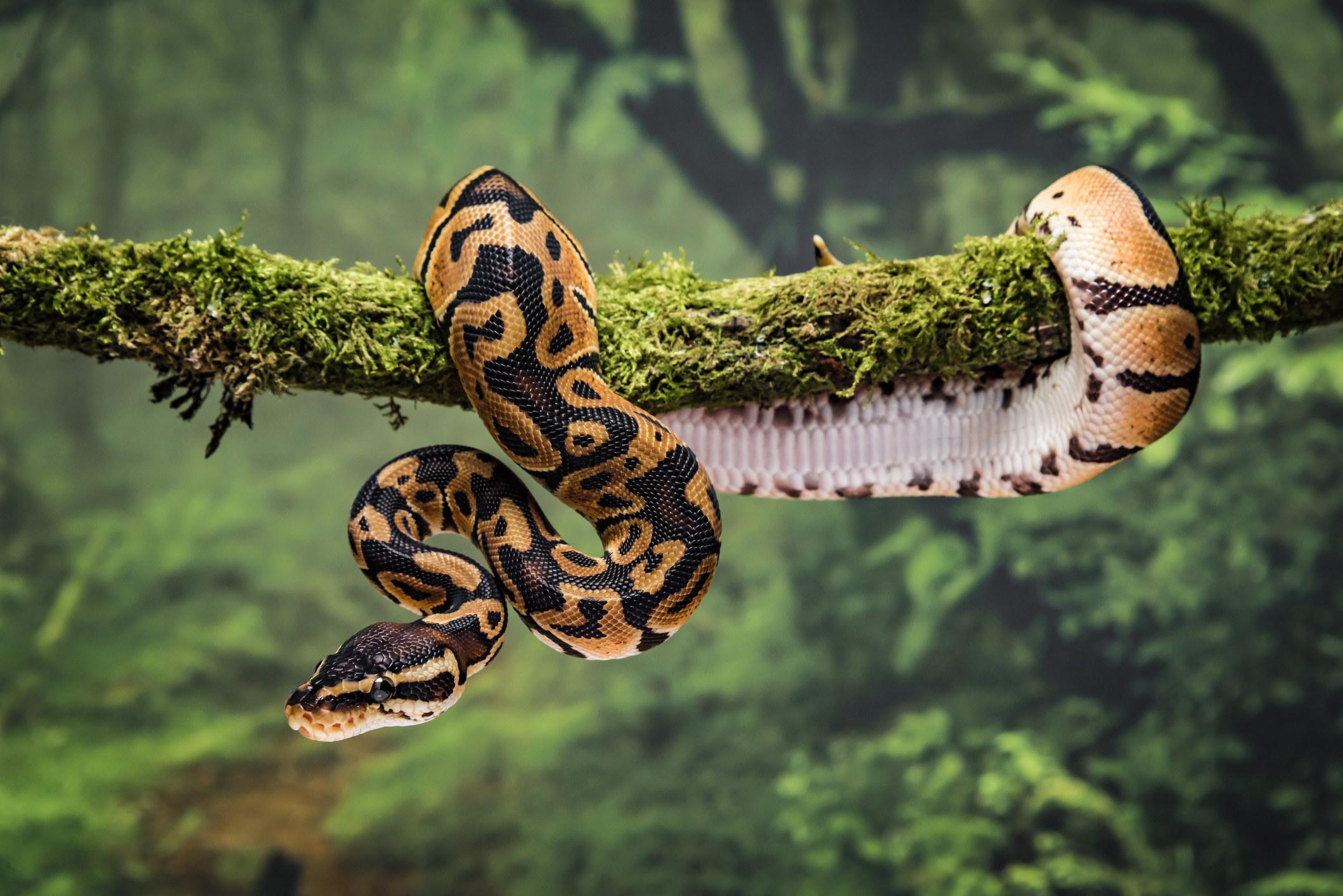 A python coiled around a branch