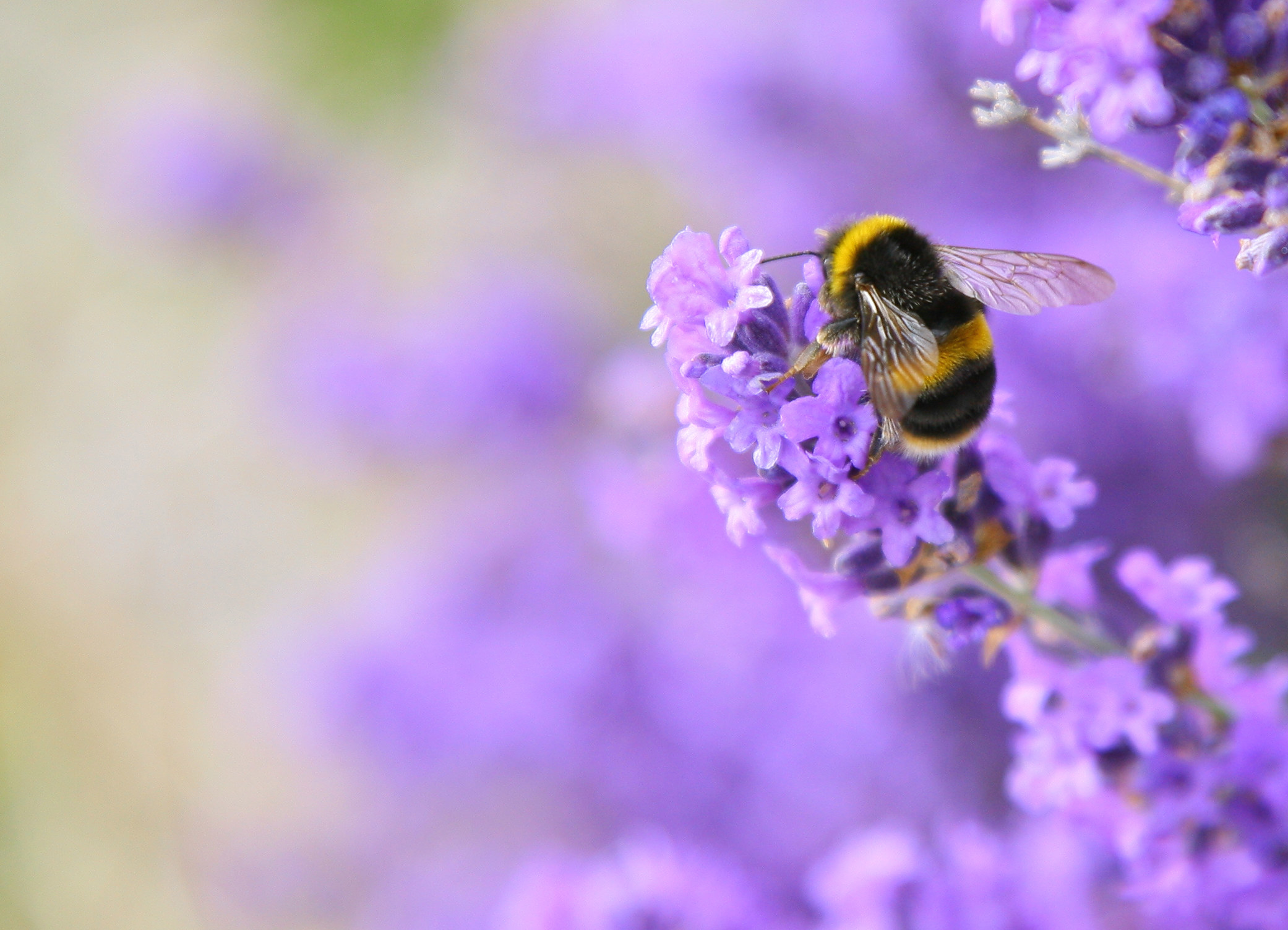 A bumblebee on a flower