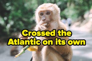 """Crossed the Atlantic on its own"" written over a monkey"