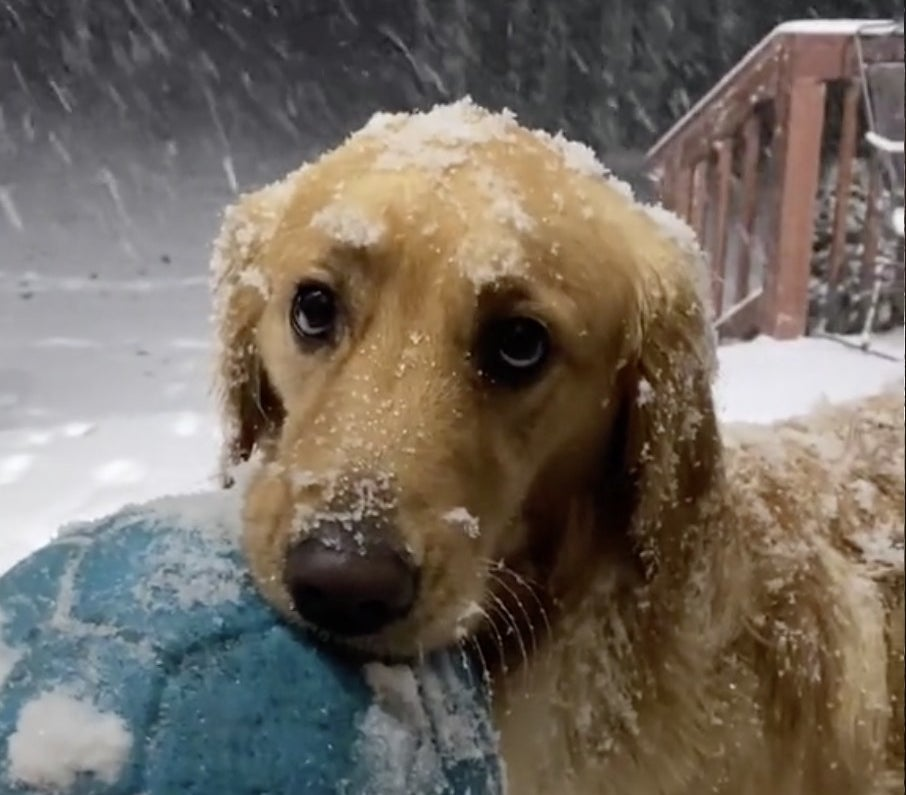 A Labrador holds his toy while standing in the snow waiting to play