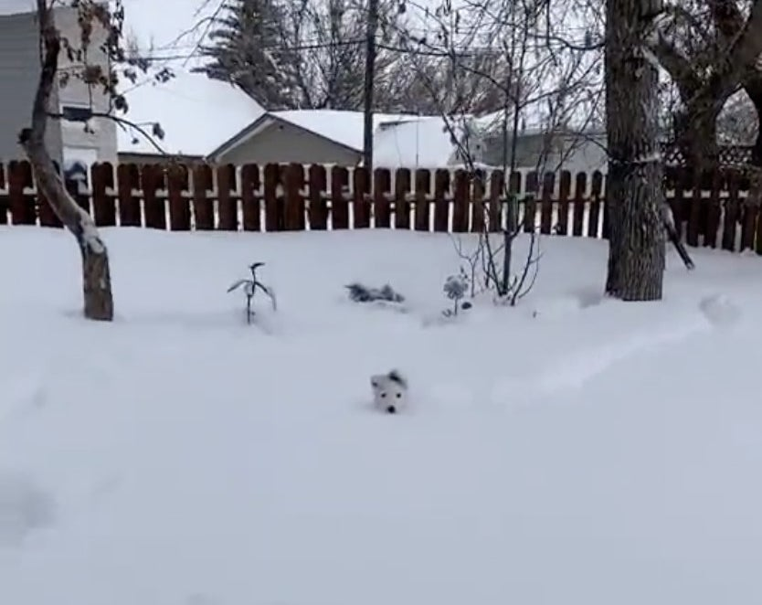 A tiny white dog's head sticks out of the snow