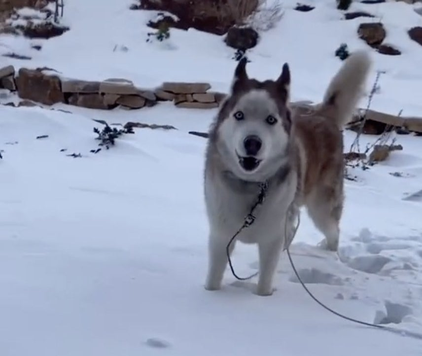 A white Husky stares at the camera