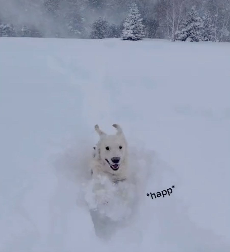 A white dog smiles while plowing through the snow