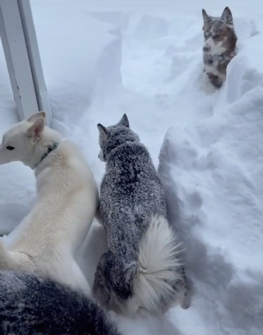 A group of Huskies chill in the snow