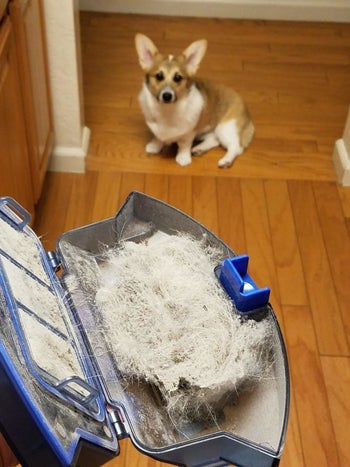 Reviewer's Corgie watches them open the robot vacuum compartment, which is filled with fur and debris