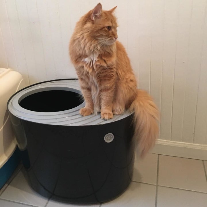 Reviewer's cat sitting on the lid of the litter box