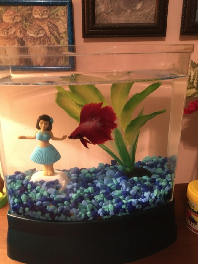 A reviewer's happy red betta