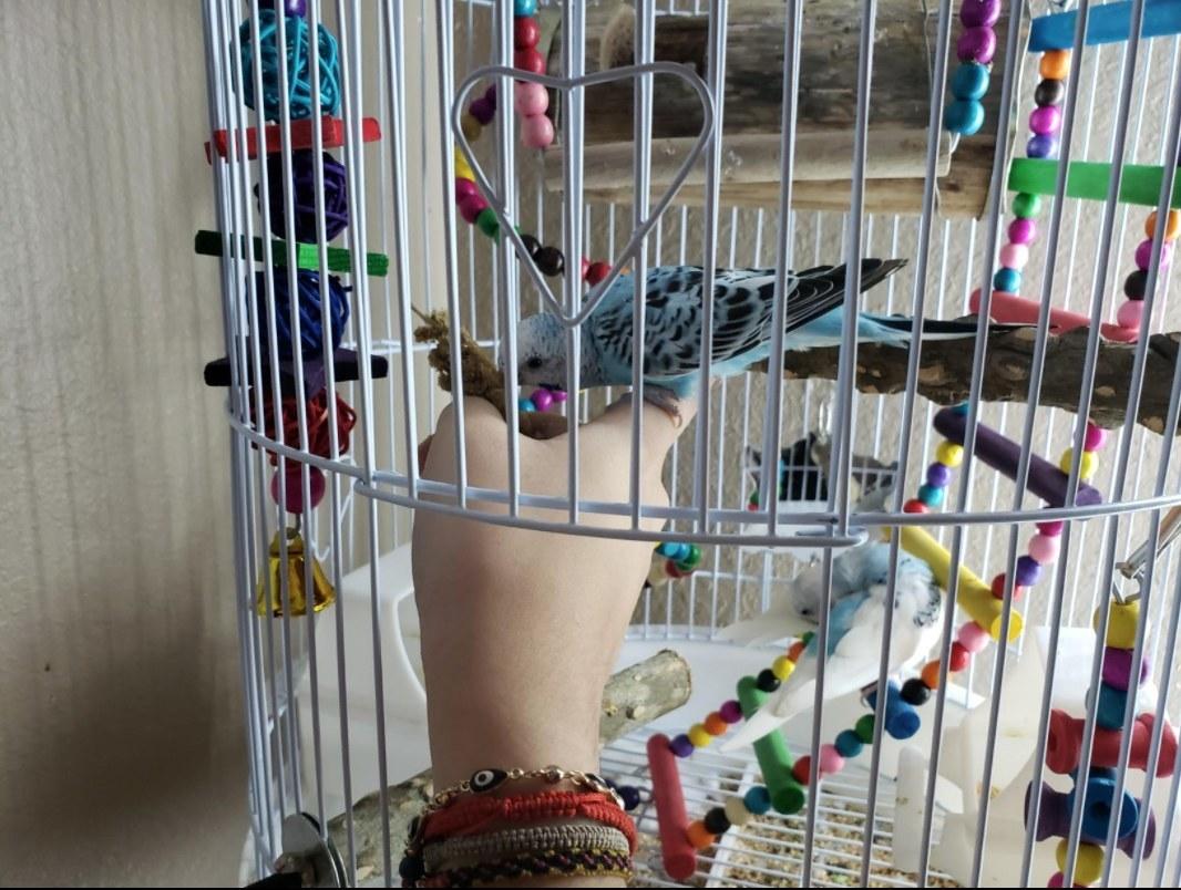 A reviewer's blue bird enjoying the treat