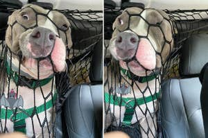A Pit Bull trying to escape the nets keeping them from jumping in the front seat of a car