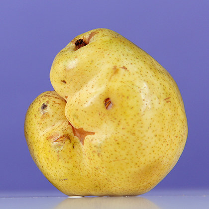 A deformed pear relative to the classically shaped fruit