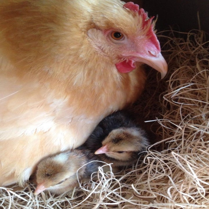 Reviewer Photo: Chicks in Nesting Pad
