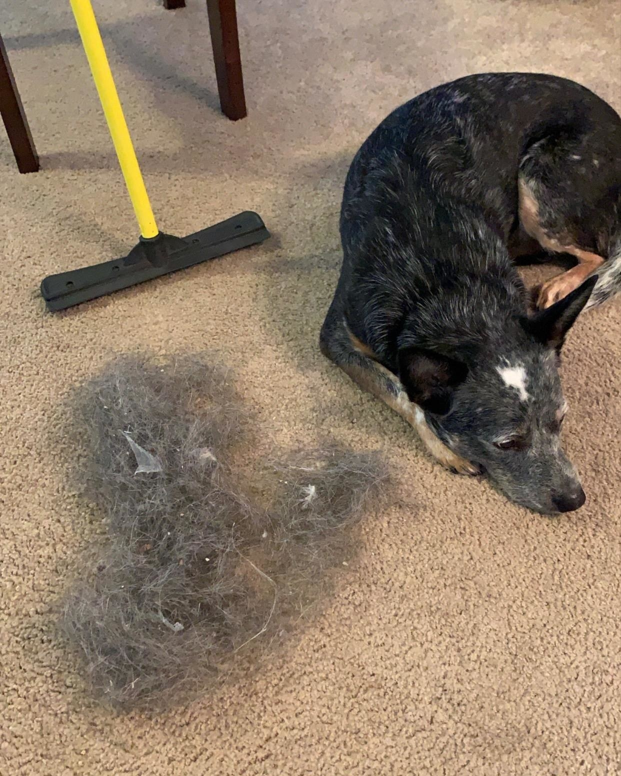 A reviewer's dog laying next to a pile of fur they removed from their carpet with the broom