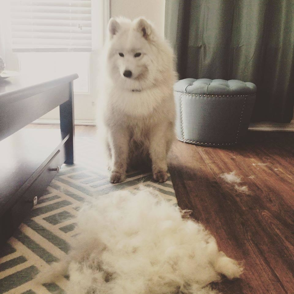 Reviewer's photo of their fluffy dog beside a pile of fur after using the slicker brush