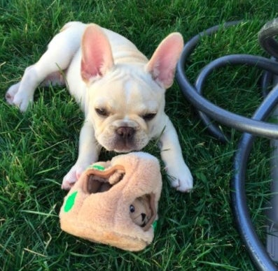 french bulldog playing with hide a squirrel toy