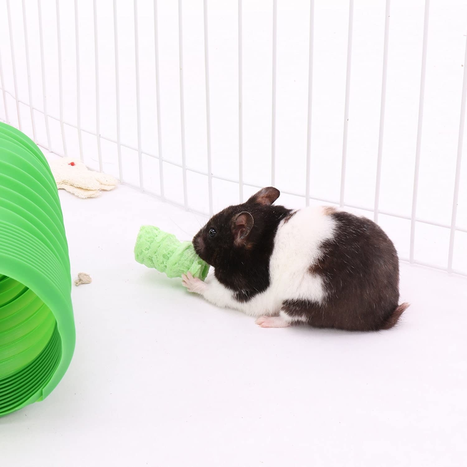 A black and white guinea pig snacks on a green treat