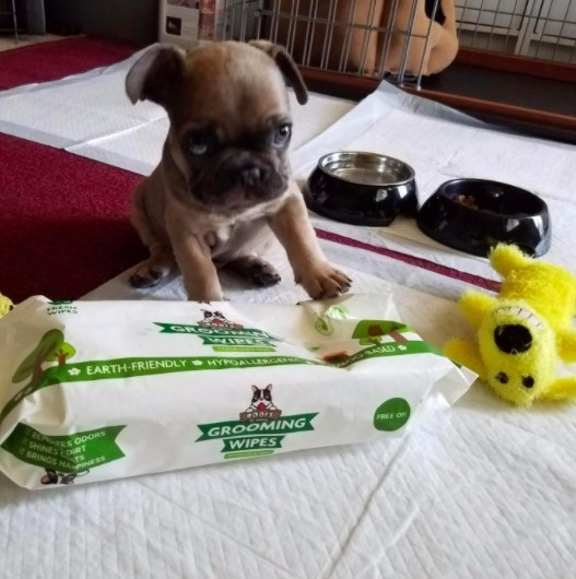 french bulldog puppy next to a pack of grooming wipes