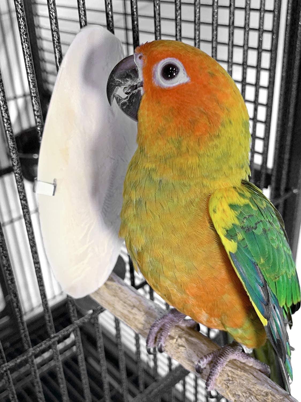 An orange and green bird eats a cuttlebone