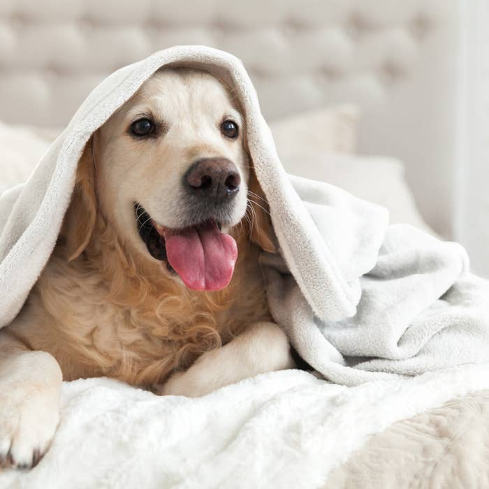 The blanket wrapped around a happy golden retriever