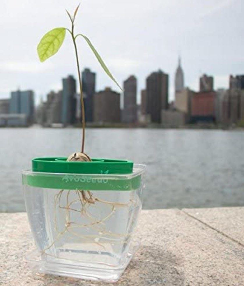 Avacado plant growing in a clear planter filled with water