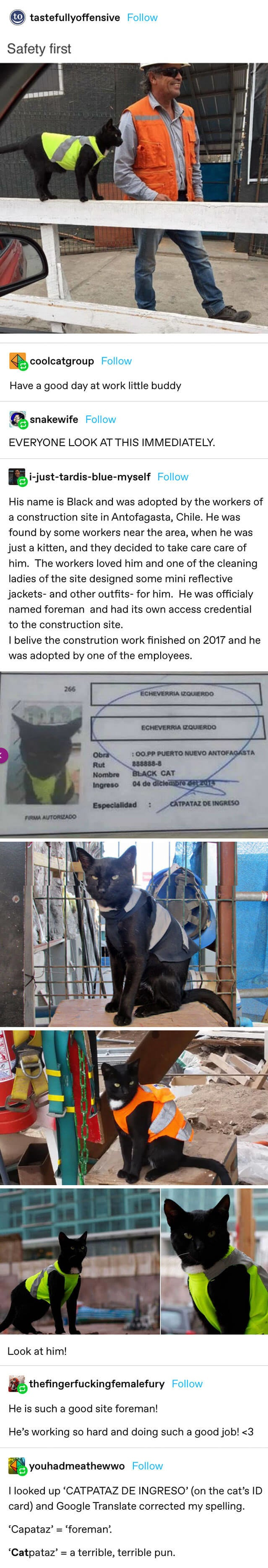a cat in a safety jacket with info saying it was adopted by construction workers in Chile and named a foreman