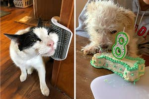 L: Cat rubbing its face on a wall-mounted brush R: Dog licking a bone-shaped birthday cake