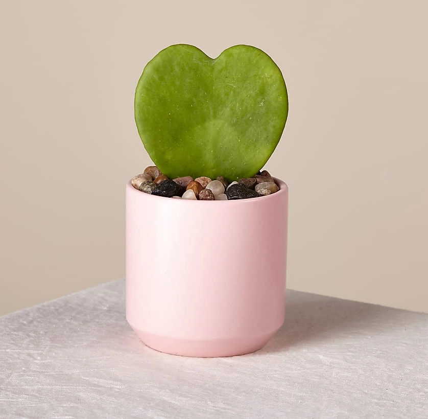 heart shaped leaf in a tiny pot