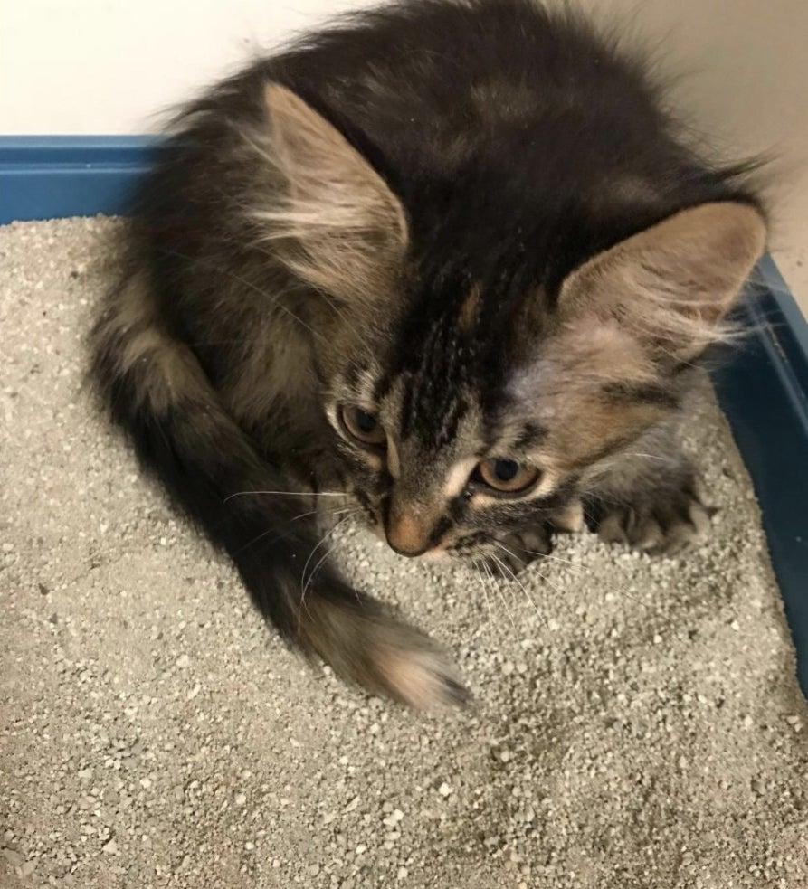 A kitten in a litter box