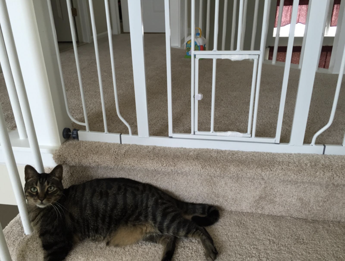 Cat in front of pet gate