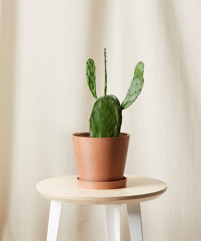 medium-size cactus in clay pot