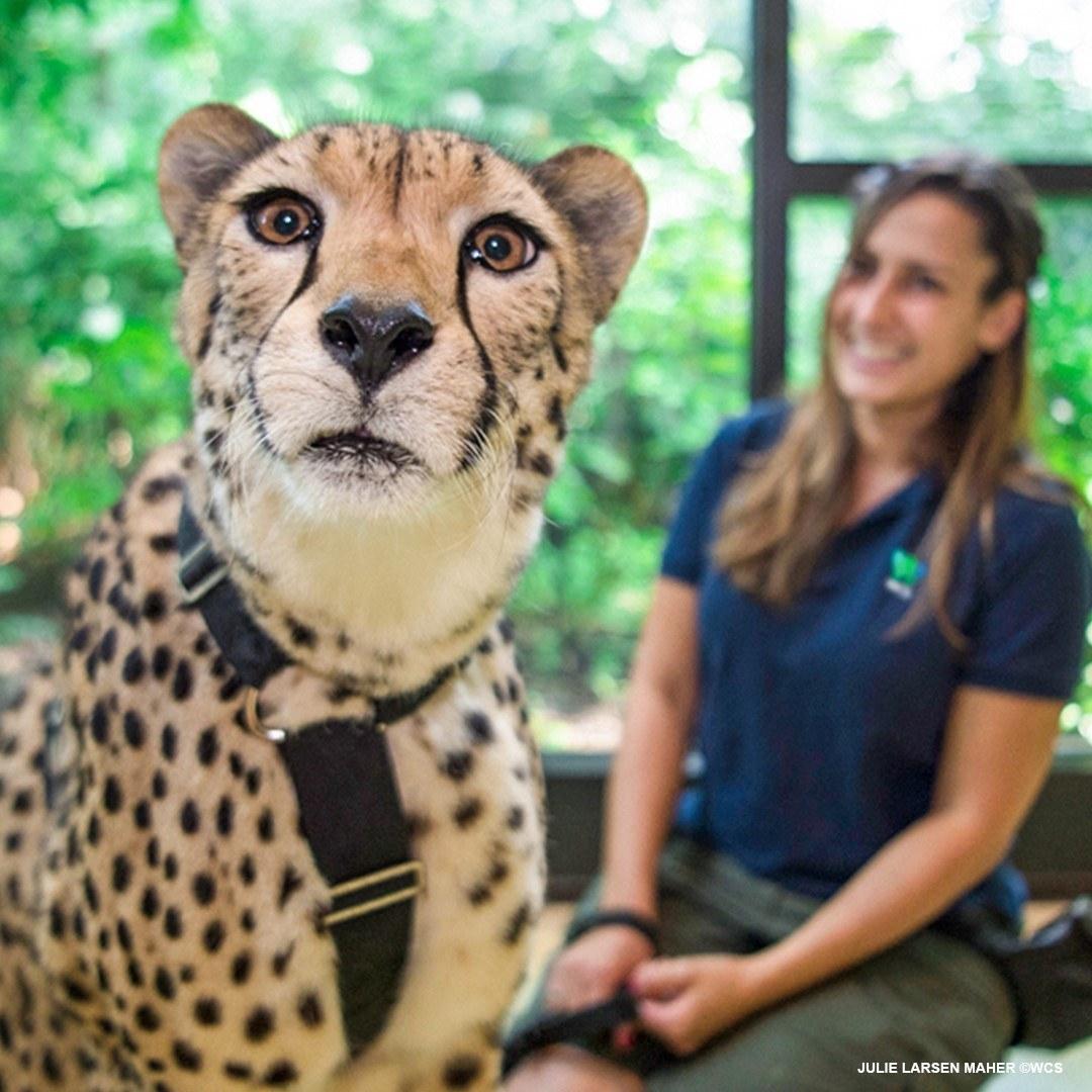 a close up of a cheetah during a virtual encounter