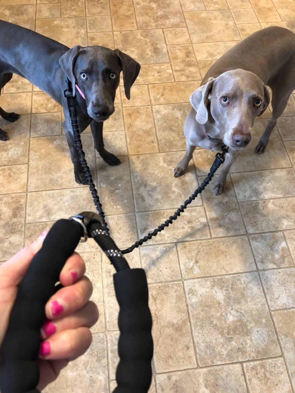 Reviewer holding the leash attached to two dogs