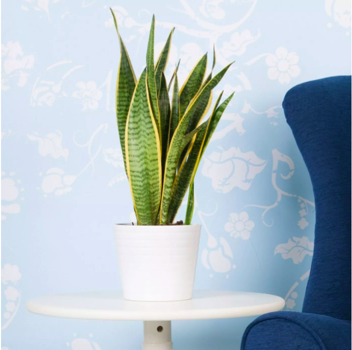 the snake plant on a tabletop