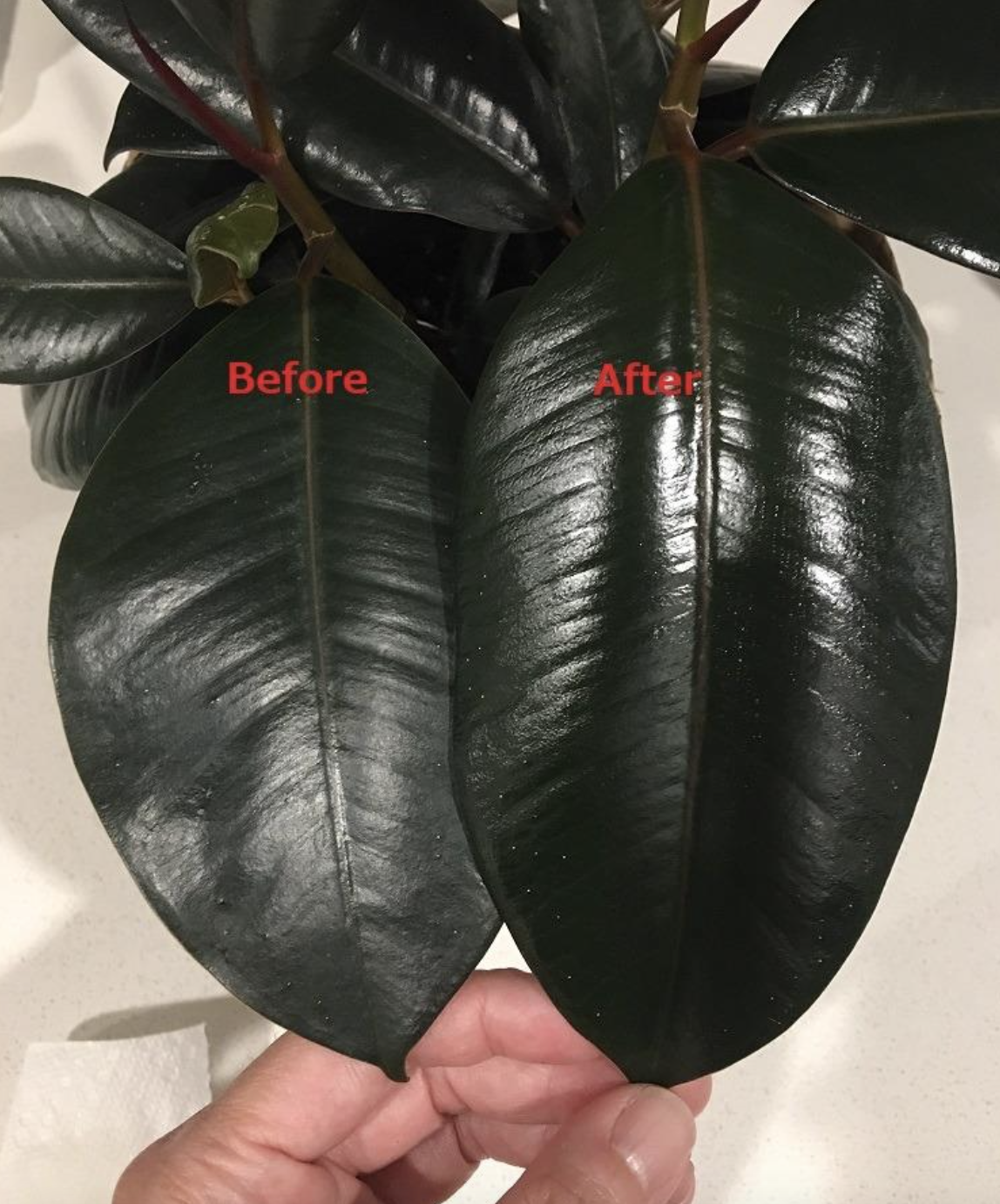 reviewer's plant with one leaf much shinier than another