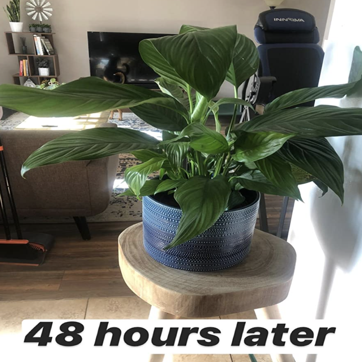 the same plant 48 hours later with the leaves now looking much healthier