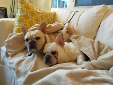 two light color Frenchie dogs cuddled up in the blanket