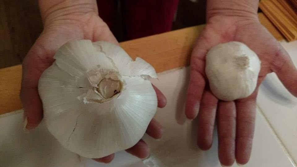 A woman holding up elephant garlic next to regular garlic