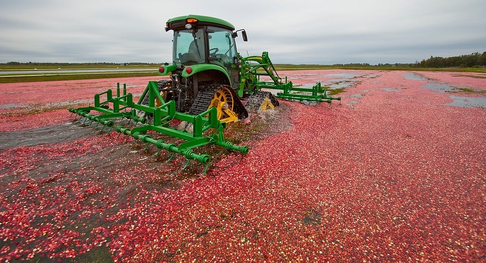 Cranberries being harvested in a Wisconsin marsh