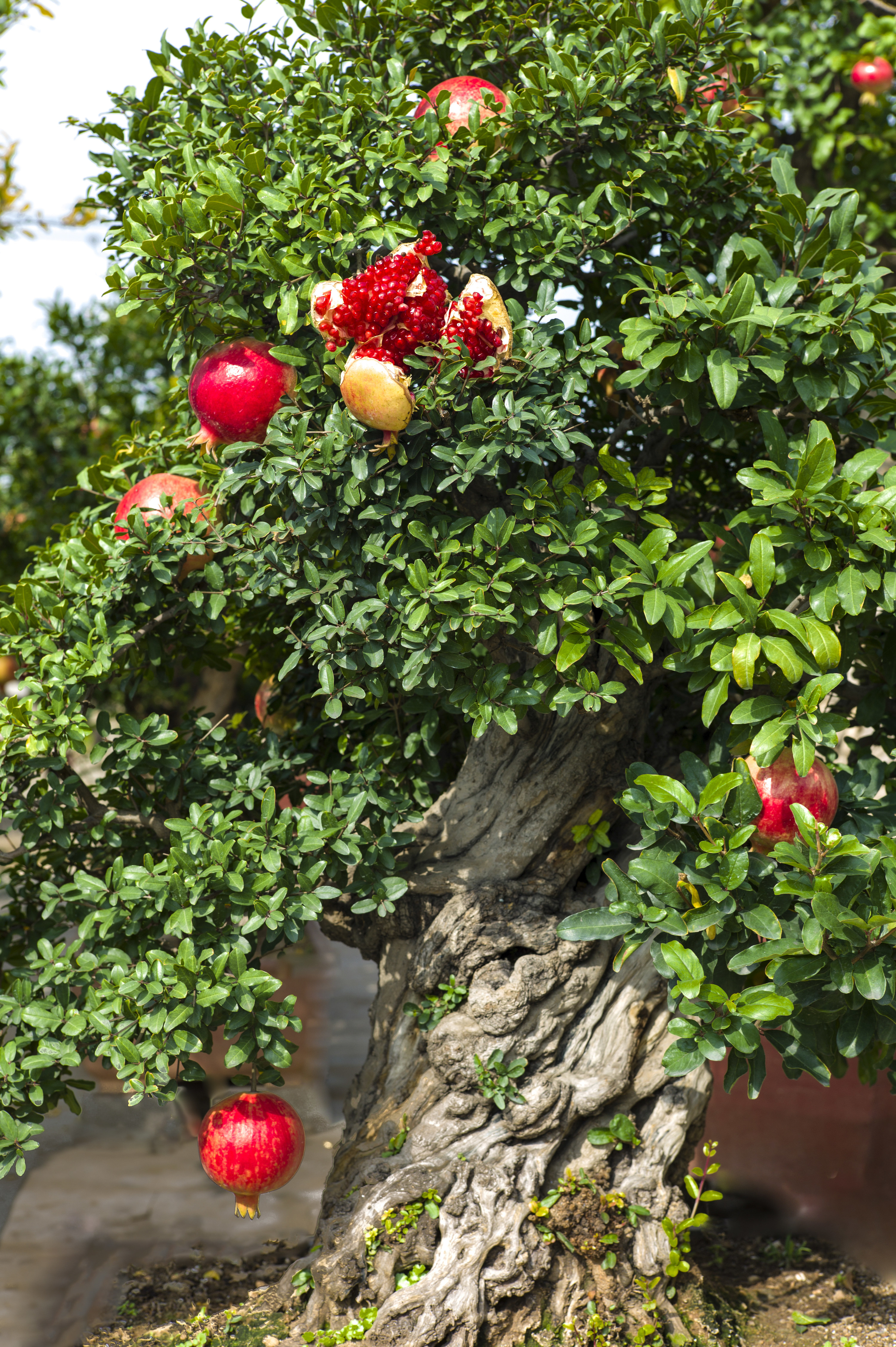 A pomegranate tree in bloom