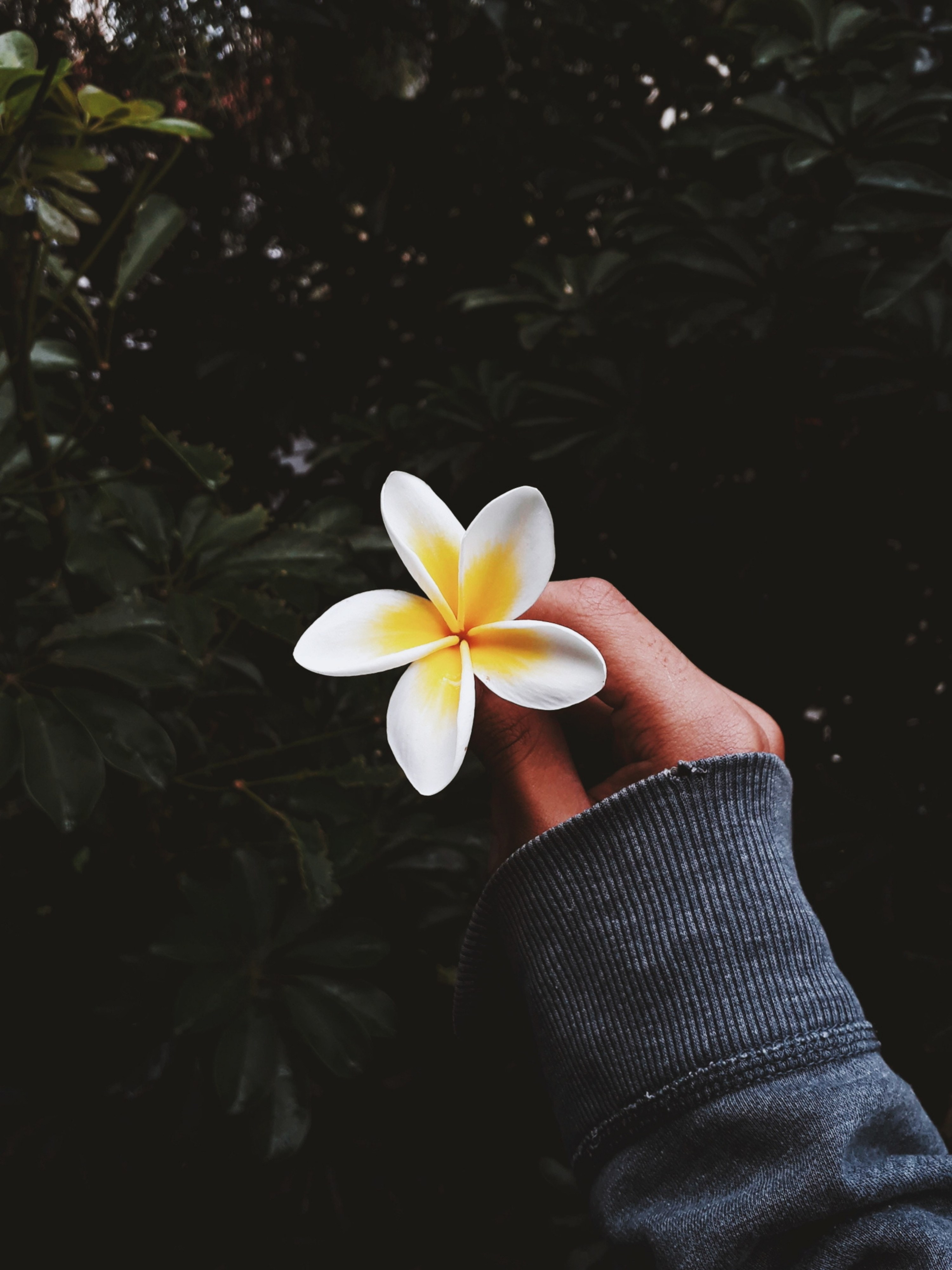 Person holding out a frangipani flower with a foliage backdrop