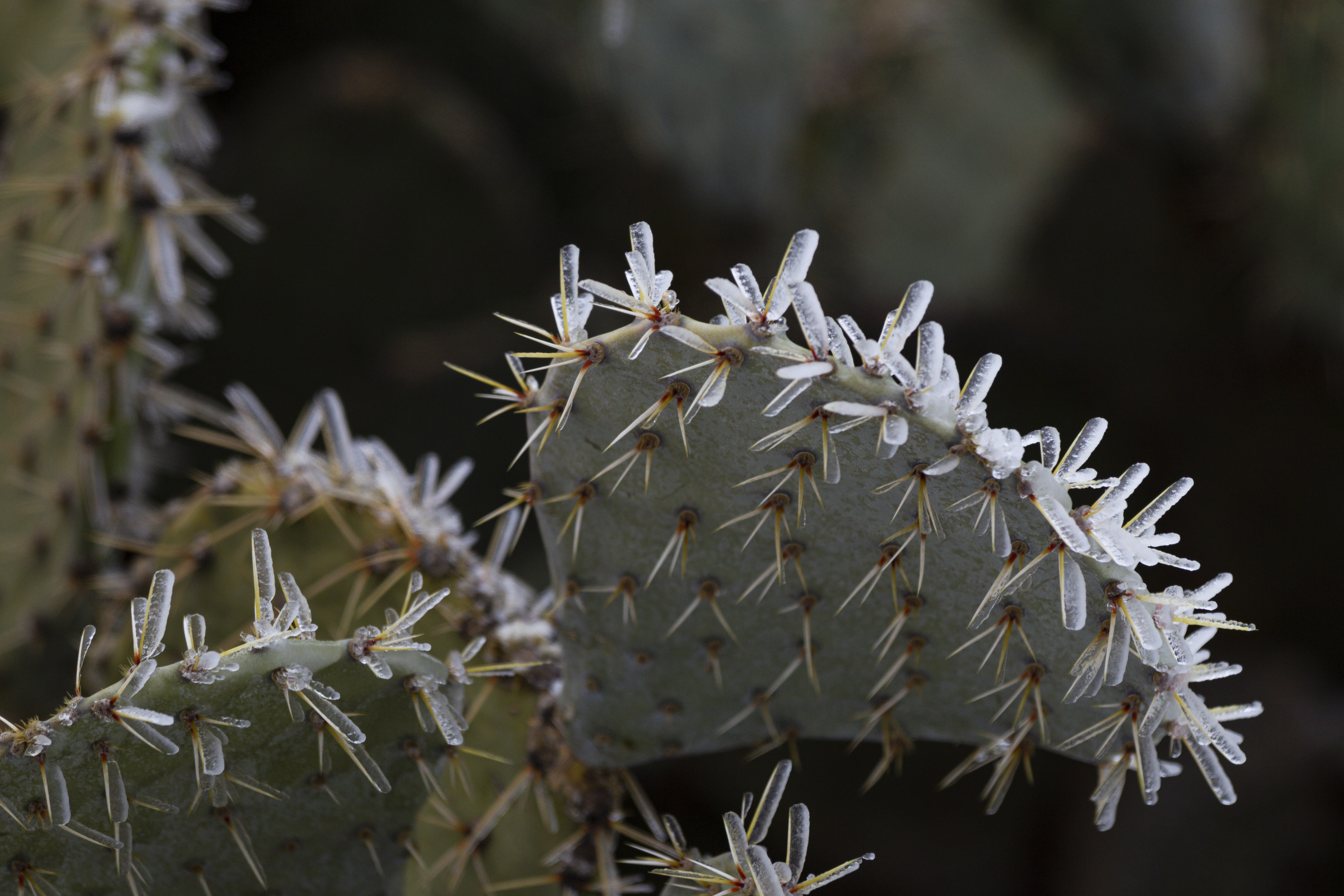 A cactus with its spines covered in ice