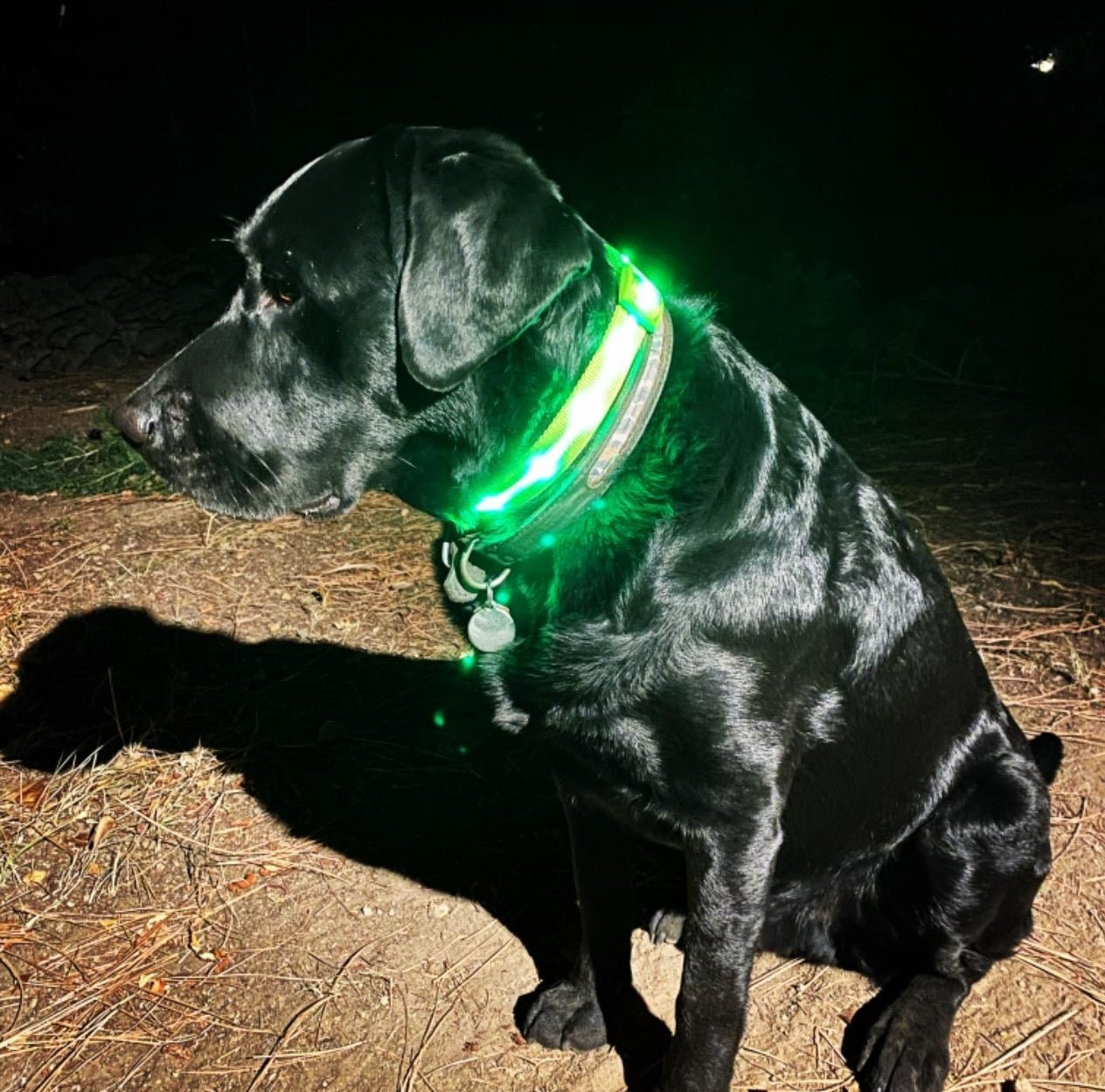 reviewer photo of their black lab wearing the green LED collar
