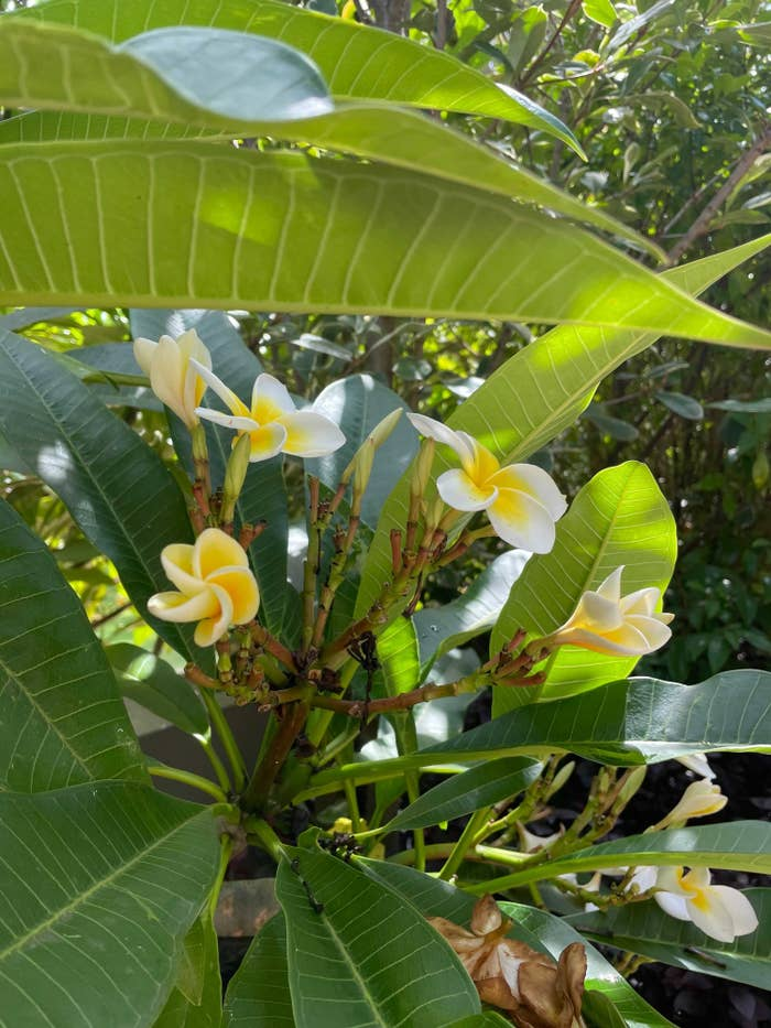 Close up of a frangipani tree with half bloomed flowers and fully formed ones