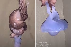 two slugs mating. and exerting their male sex organs so they can entertwine