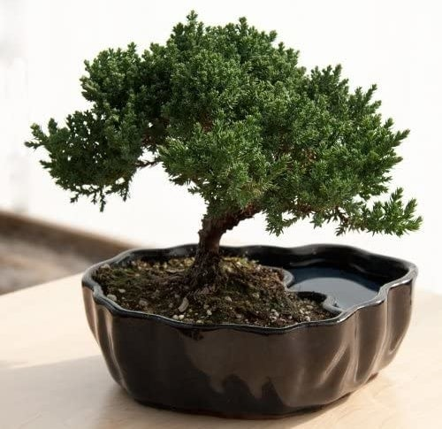 A small bonsai tree in a split planter with a small reflection pool