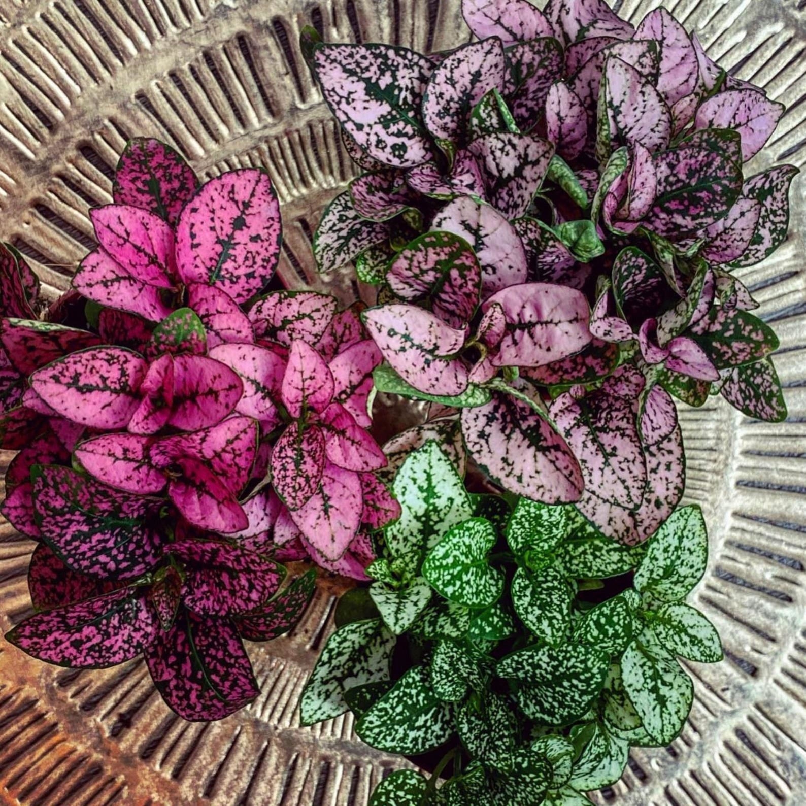 Three different colored polka dot plants sitting on a table