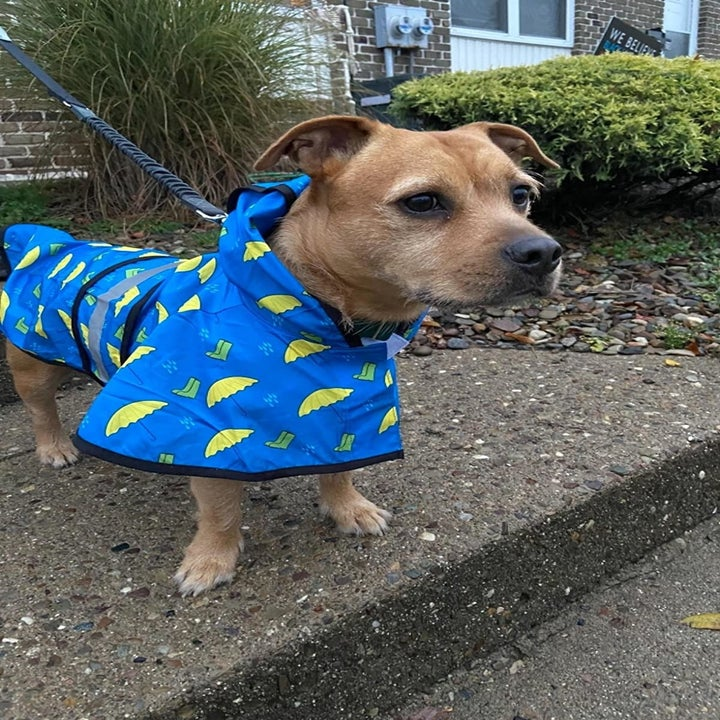 A reviewer photo of a small brown dog wearing the raincoat in blue with an umbrella and rainboot print