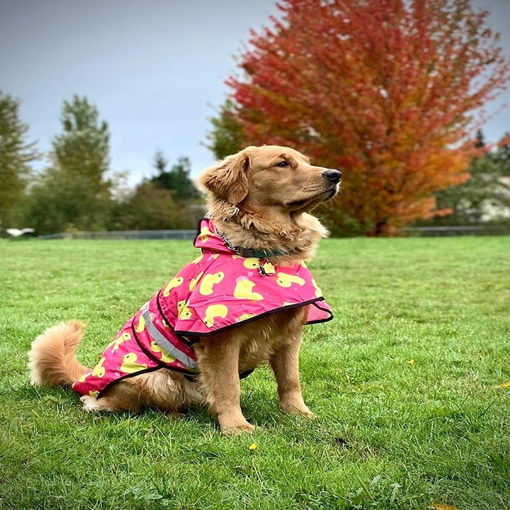 A reviewer photo of a golden retriever wearing the raincoat in pink with a rubber duck print